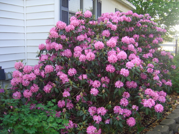 B- Pink Rhododendrons